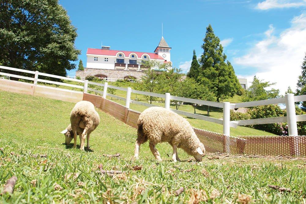六甲山牧场里绵羊们在吃牧草。