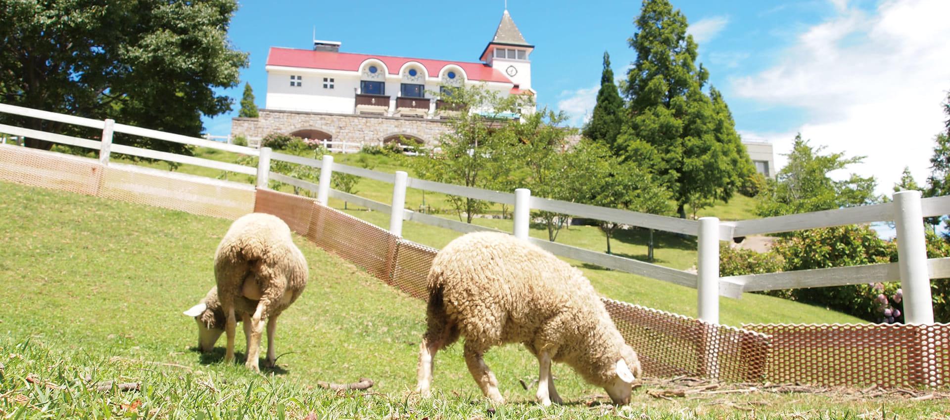 六甲山牧場裡的綿羊們正吃著牧草。